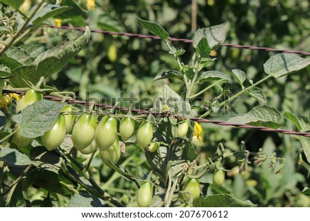 Young tomatoe garden - stock photo