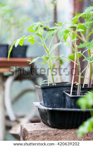 Young tomatoes seedlings in the green house