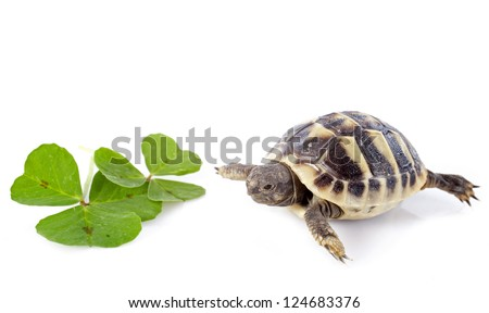 young tortoise and trefoil isolated on a white isolated - stock photo