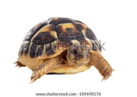 young tortoise isolated on a white isolated background - stock photo