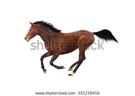 Young Trakehner stallion isolated over white - stock photo
