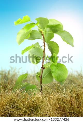 Young tree sprout through the dry grass on blue sky background. Studio photography. Art design. - stock photo