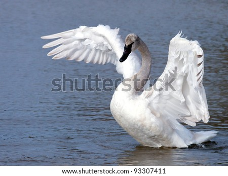 Young trumpeter swan (cygnet) stretching wings - stock photo