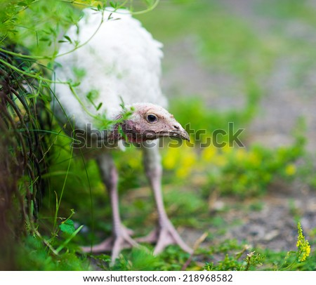 young turkeys on a farm - stock photo