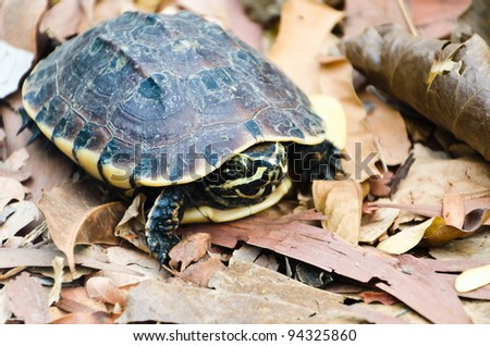 Young turtle walking on old brown leafs - stock photo