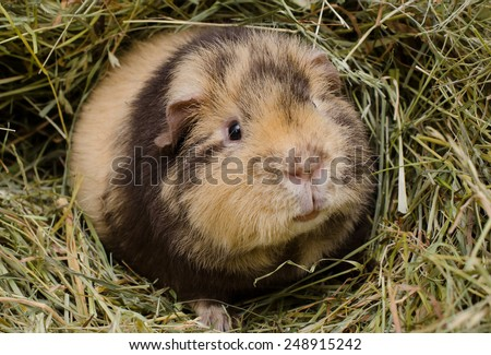 young us-teddy in hay (chocolate-cream brindle) - stock photo