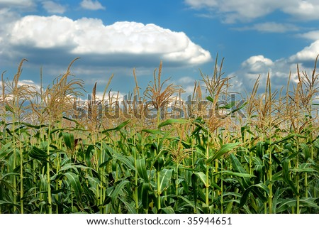 Young vegetation on a corn field against the sky