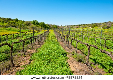 Young Vineyard in  Israel, Spring - stock photo