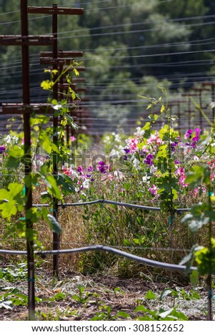 young vineyard lined with blooming wild peas adding color and beauty to the landscape - stock photo