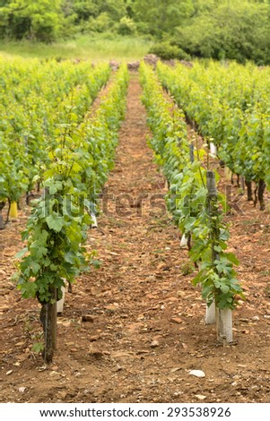 Young vineyards for red wine - stock photo