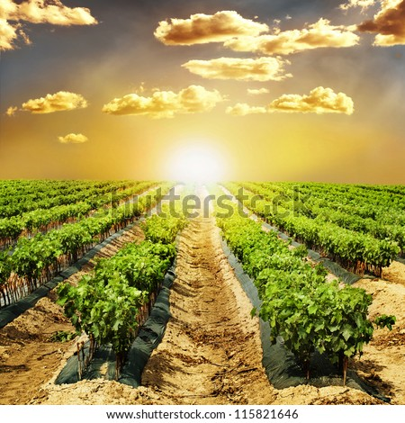 Young Vineyards in rows. Seedlings vines.Graft of the vines. - stock photo