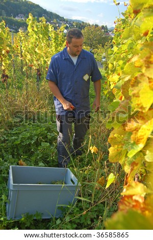 Young vintner is harvesting grape