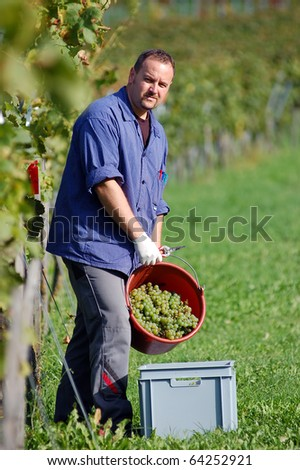 Young vintner is harvesting white grape in the vineyard by sunny weather - stock photo