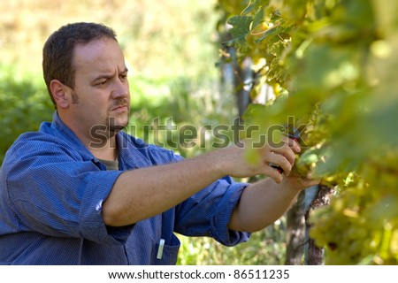 Young vintner is harvesting white grape in the wineyard by sunny wheather - stock photo