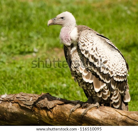 Young vulture sitting on a fallen tree