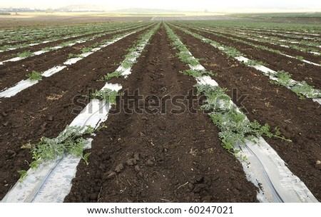 young watermelon field in israel - stock photo