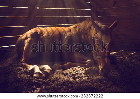 Young weanling horse lying down in stall with sunbeams shining looking tired exhausted sleepy sad sick depressed alone relaxed - stock photo
