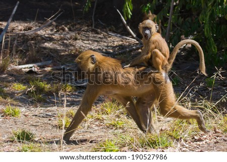 Young Western Baboon (Papio papio) riding on its mothers back - stock photo
