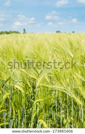 young wheat on farm land - stock photo