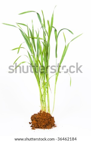 Young wheat plant with soil against a white background - stock photo