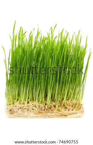 young wheat sprouts on a white background - stock photo