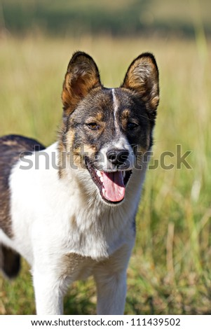 Young white and black dog breathes with open mouth in hot sunny day