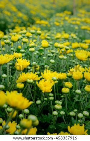 young white and Yellow chrysanthemum flowers. - stock photo