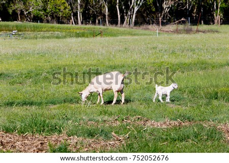 Young white kid goat with dam mother grazing in grassy paddock on farm