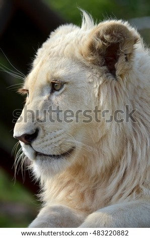 young white lion male side