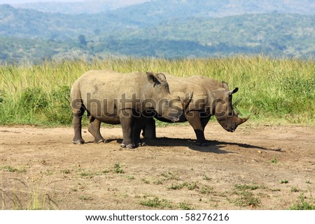 Young White Rhino at the Hluhluwe National Park in South Africa - stock photo