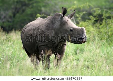 Young white rhino, Hluhluwe-Imfolozi, South Africa - stock photo