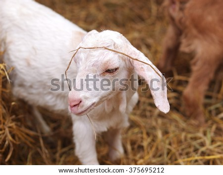 young white sheep lamb in organic farm waiting for friend to run and play outdoor - stock photo