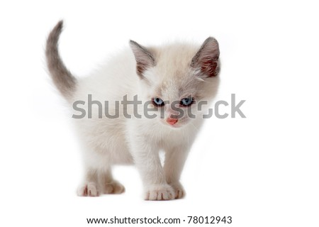 young white siamese kitten in front of white background - stock photo