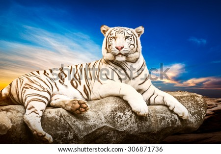 Young white siberian tiger in the act of relax on stone at natural sunset background - stock photo