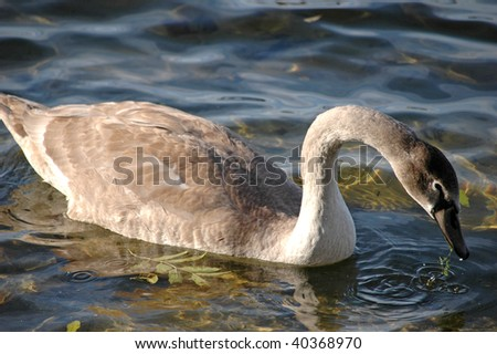 young white swan portrait - stock photo
