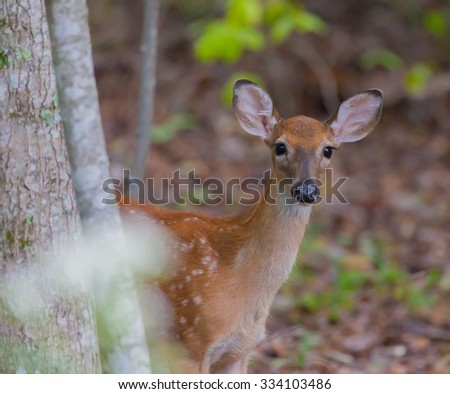 Young White-tailed Deer (Odocoileus virginianus) looking at the camera - stock photo