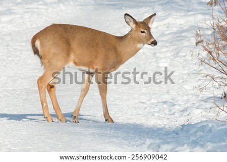Young White-tailed Deer standing on a snowy path.
