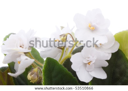 young white violet with green leaves isolated on white