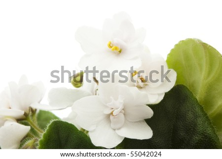young white violet with green leaves isolated on white - stock photo
