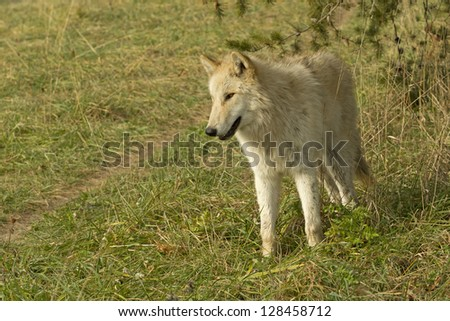 Young White Wolf