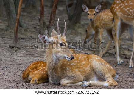 Young Whitetail Deer male and female sitting together in the public park