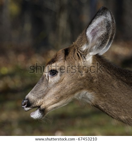 young whitetail deer up close in the fall