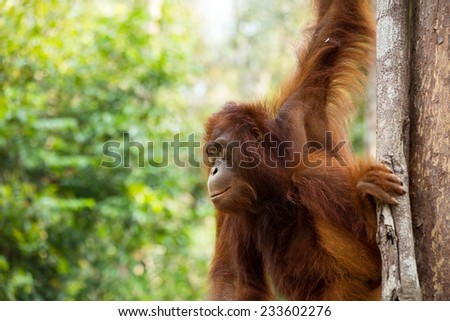 Young Wild Orangutan in the forest of Borneo Indonesia. - stock photo