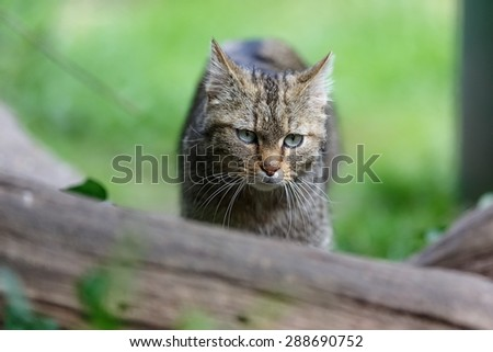 young wildcat - stock photo