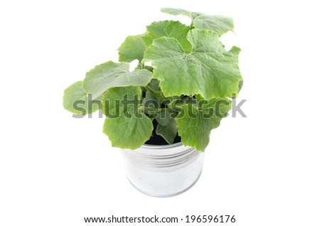 Young winter melon plant in an aluminum pot - stock photo