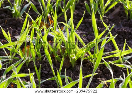 Young winter wheat on the field - stock photo