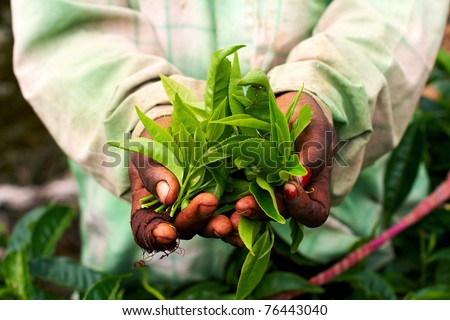 Young woman hand holding green tea leaf - stock photo