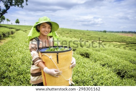 Young woman harvesting tea leaves, Thailand - stock photo