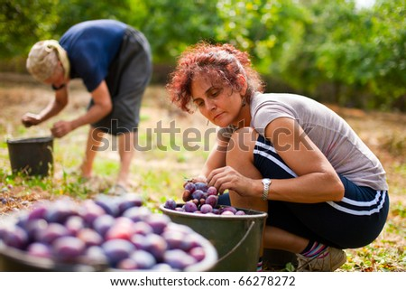 Young woman picking plums in an orchard - stock photo