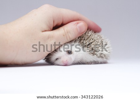 young woman stroking cute small african pygmy hedgehog baby color white face brown pinto snowflake with monokel - stock photo